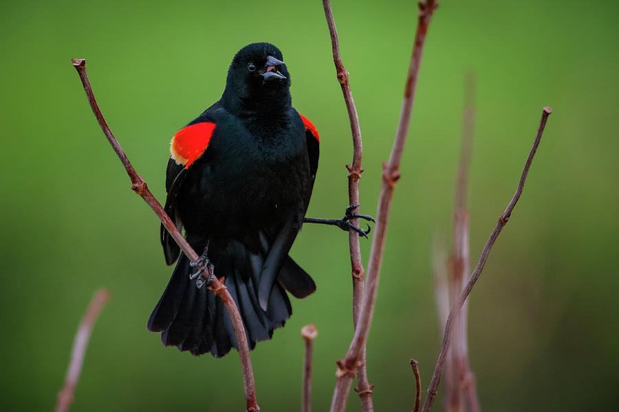 Red Winged Blackbird by Jeff Phillippi