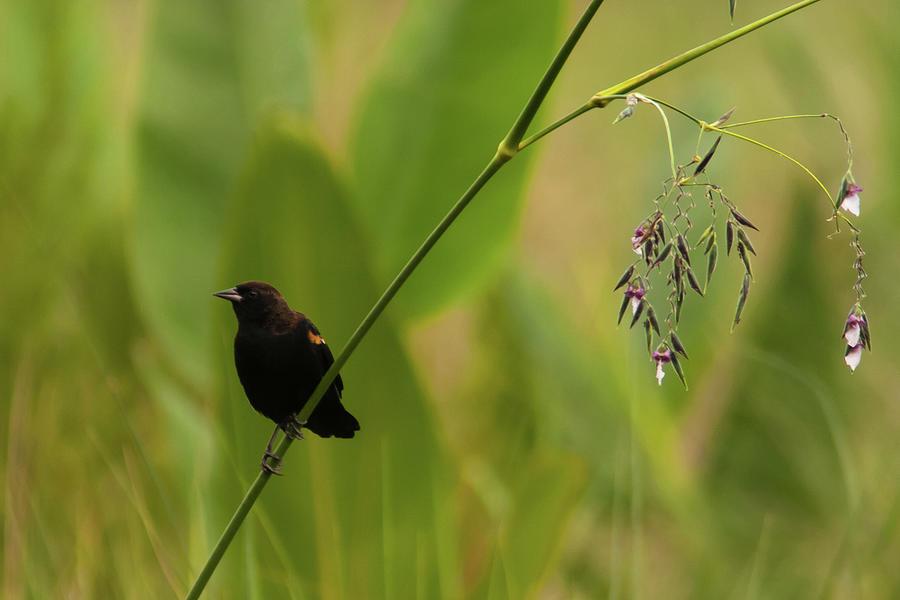 Red-winged Blackbird On Alligator Flag Photograph