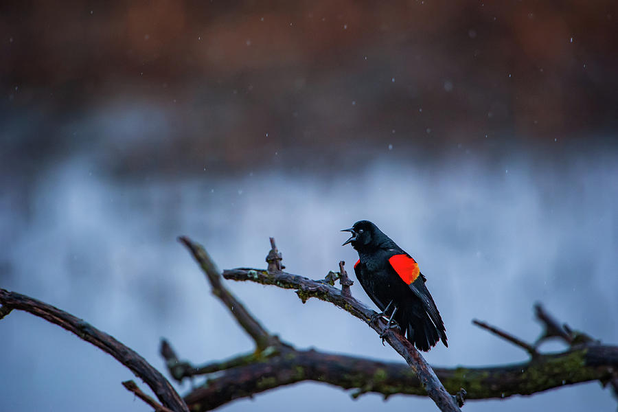 Red-winged Blackbird Protests by Jeff Phillippi