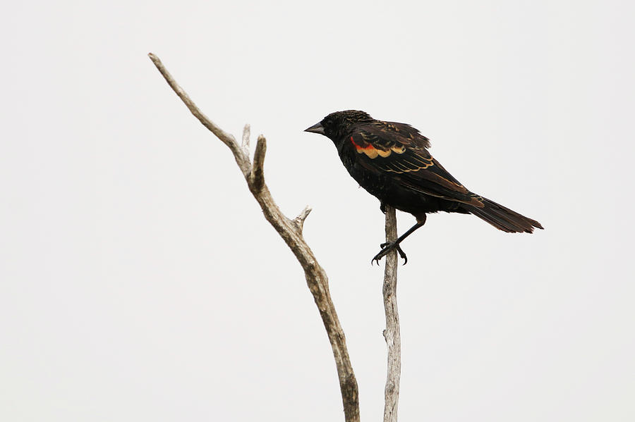 Red Winged Blackbird by Ryan Crouse