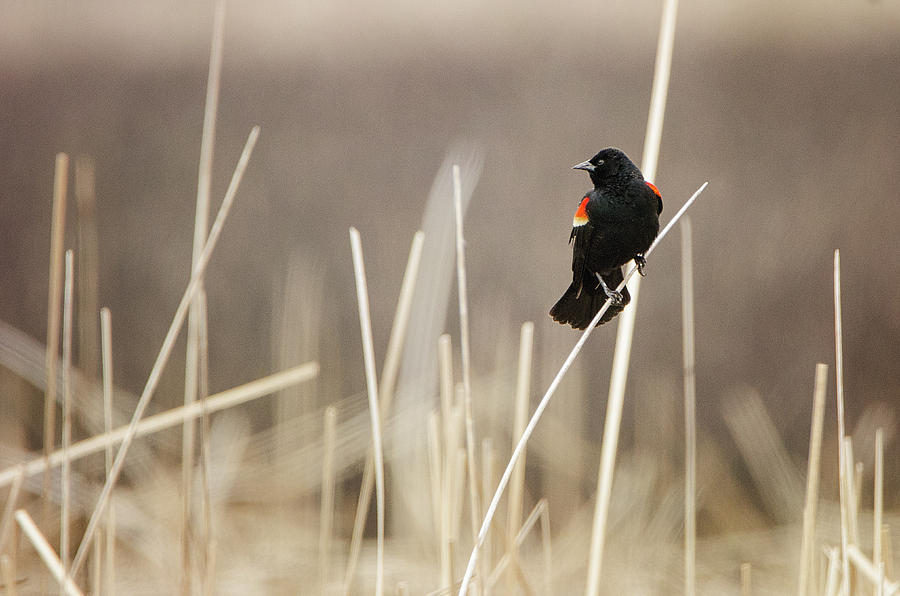 Red Winged Blackbird by Susan McMenamin