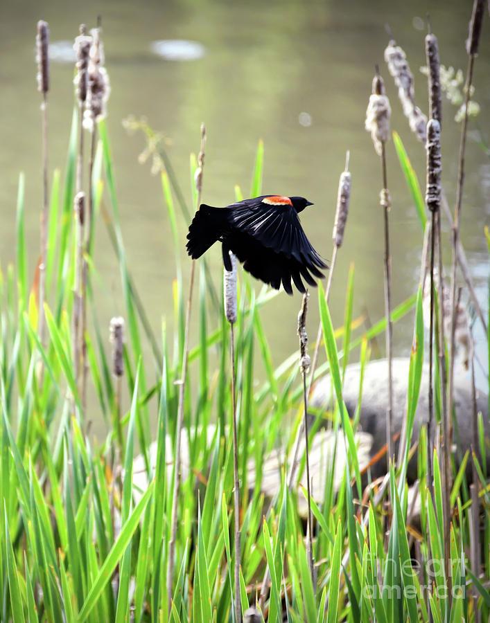 Red-winged Blackbird - Wings in Flight by Kerri Farley