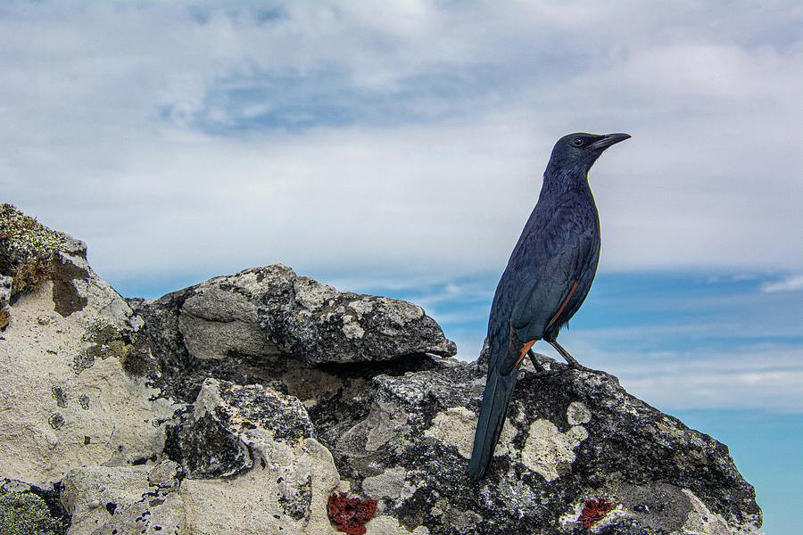 Red-winged Starling Table Mountain by Douglas Wielfaert