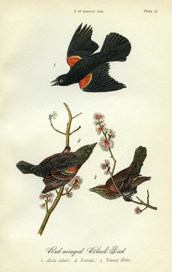 Red-Wnged Black-Bird by unknown