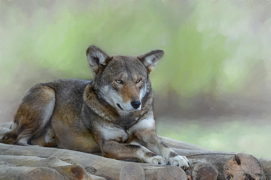 Red Wolf  by Mary Lynn Giacomini