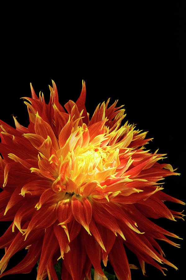 Red-yellow Dahlia Flower Photograph by Eyepix