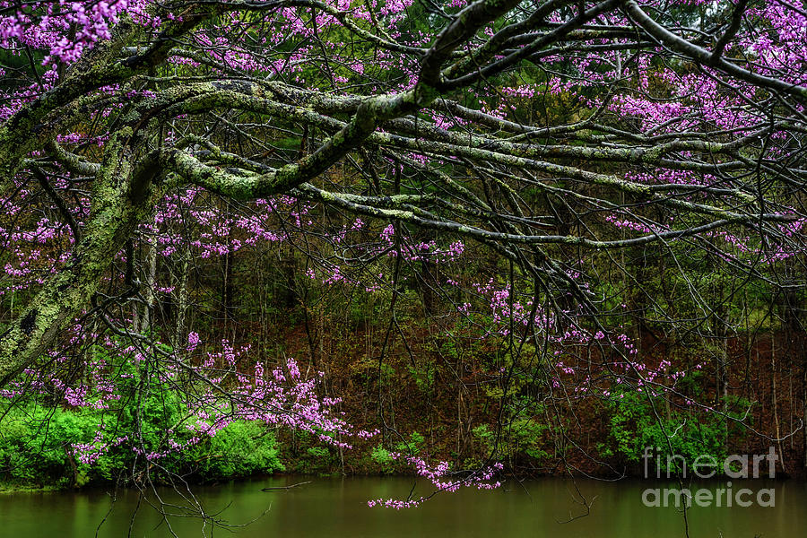 Redbud and Pond by Thomas R Fletcher