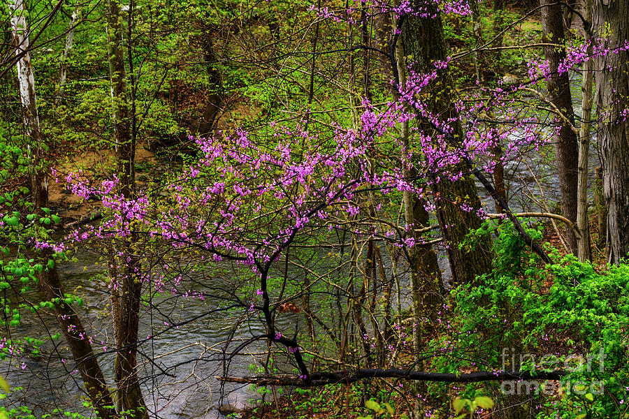 Redbud Clinging to Hillside by Thomas R Fletcher
