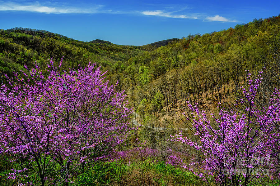 Redbud on the Mountain by Thomas R Fletcher
