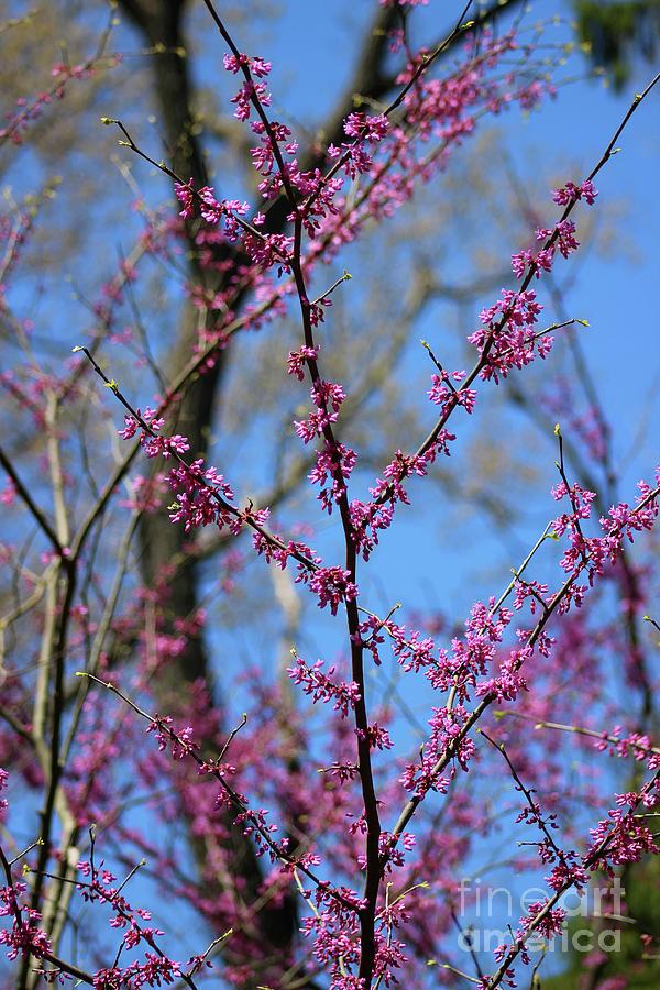 Redbuds and Blue Skies by Karen Adams