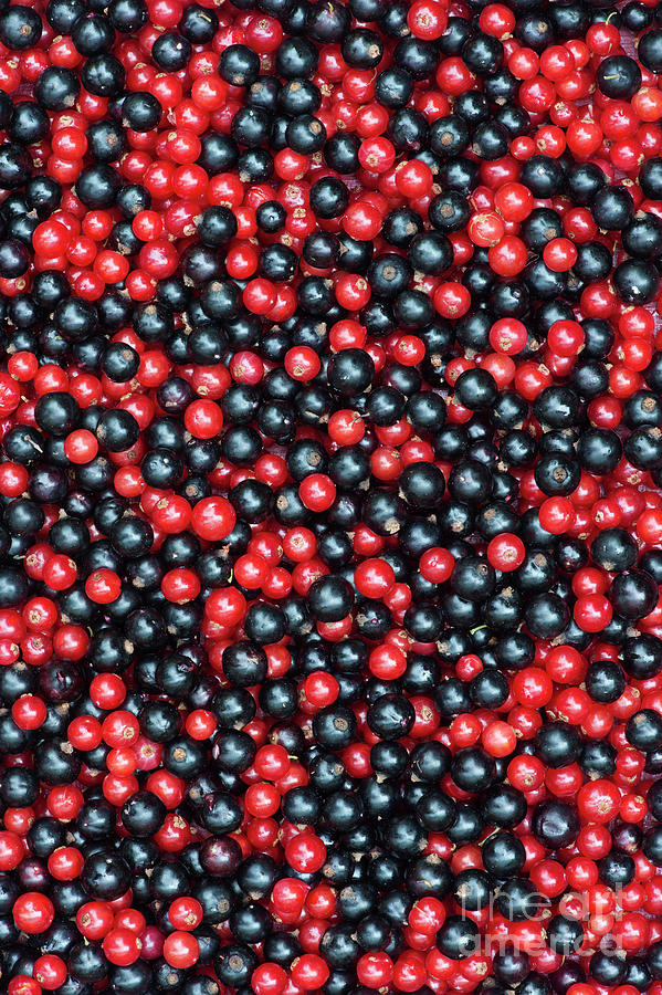 Redcurrants and Blackcurrants by Tim Gainey