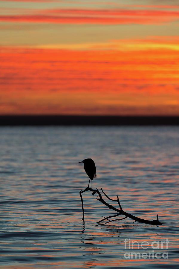 Reddish Egret Photograph - Reddish Egret At Sunset by Christopher Swann/science Photo Library