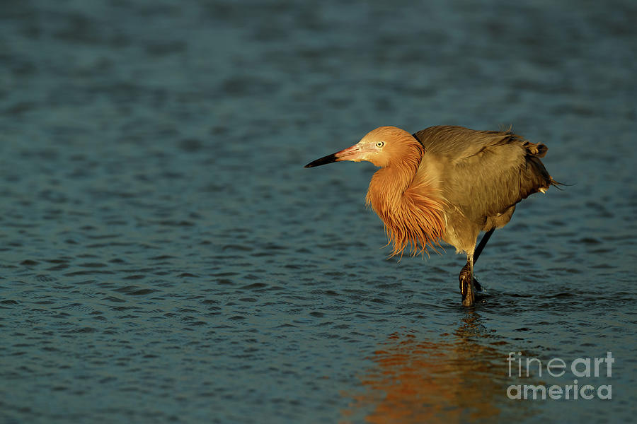 Reddish Egret by Beve Brown-Clark Photography