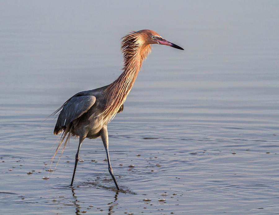 Reddish Egret In Breeding Plumage by Ivan Kuzmin