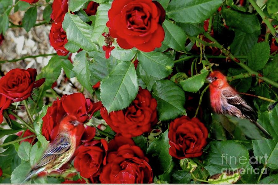 Redfinch in the Red Roses by Janette Boyd