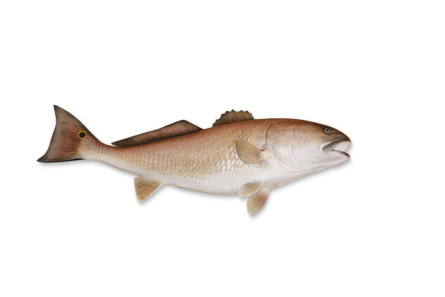 Redfish With Clipping Path Photograph by Georgepeters