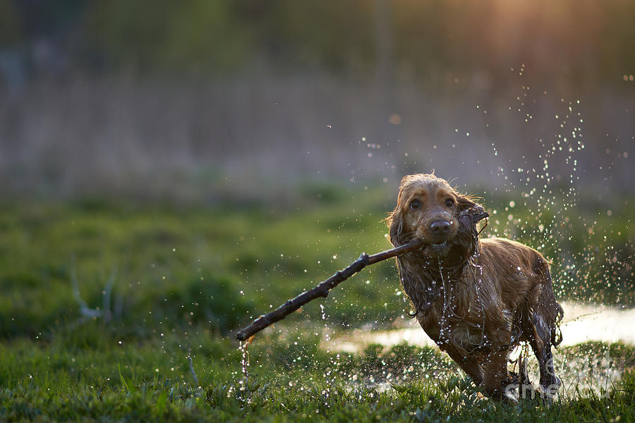 Branch Photograph - Redhead Spaniel Dog Running With A by Dmytro Vietrov