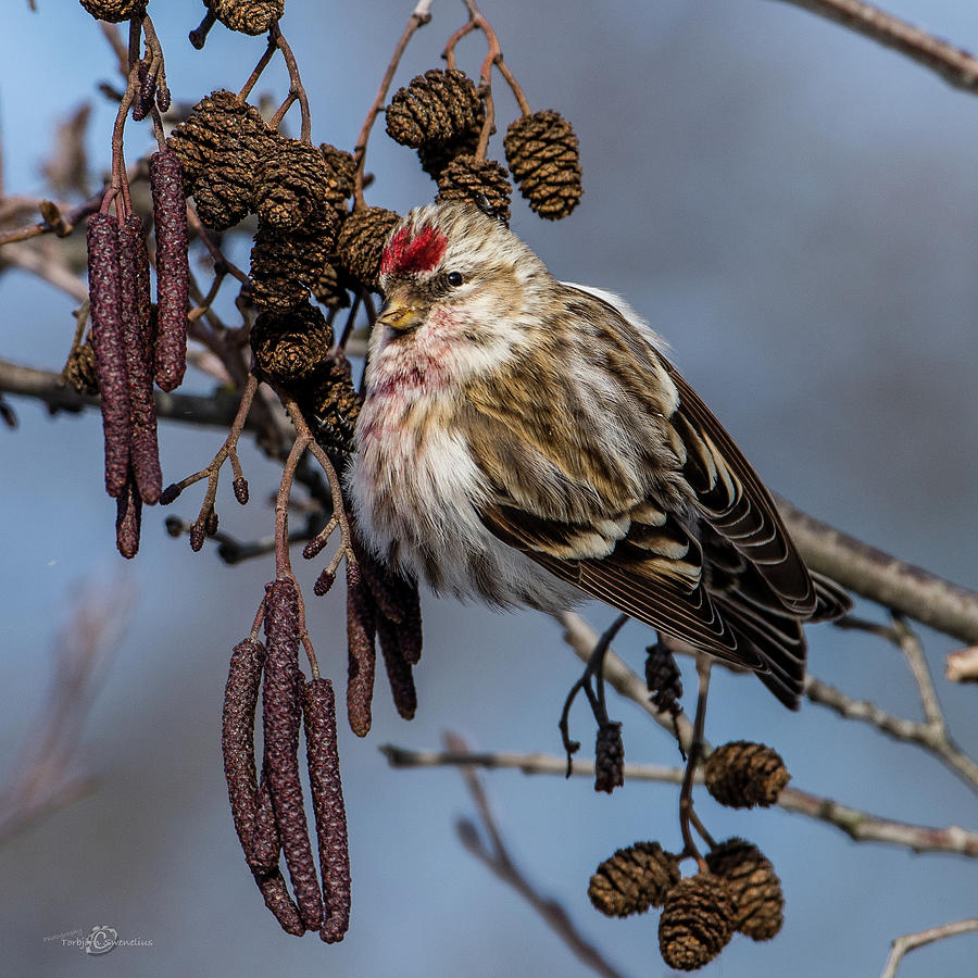Redpoll perching on the alder twig searching for seed in the con by Torbjorn Swenelius