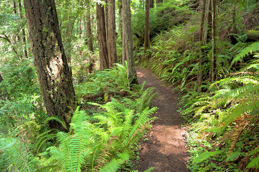 Ferns Photograph - Redwood Fern Trail by Cinnamon Sky Photography