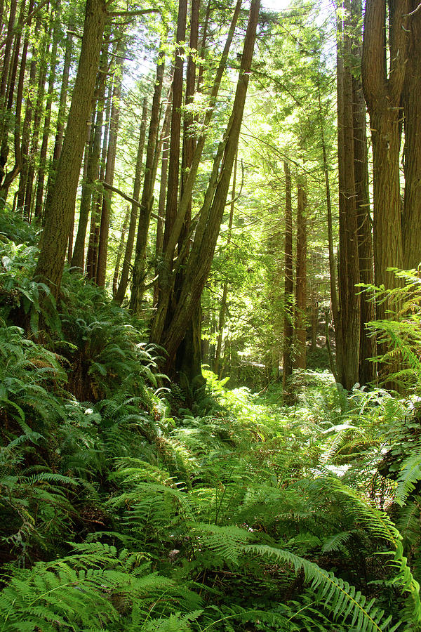 Redwood Rain Forest by Marie Leslie