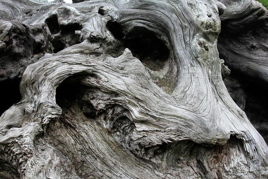 Redwood Root Driftwood Photograph by Robert Goldwitz