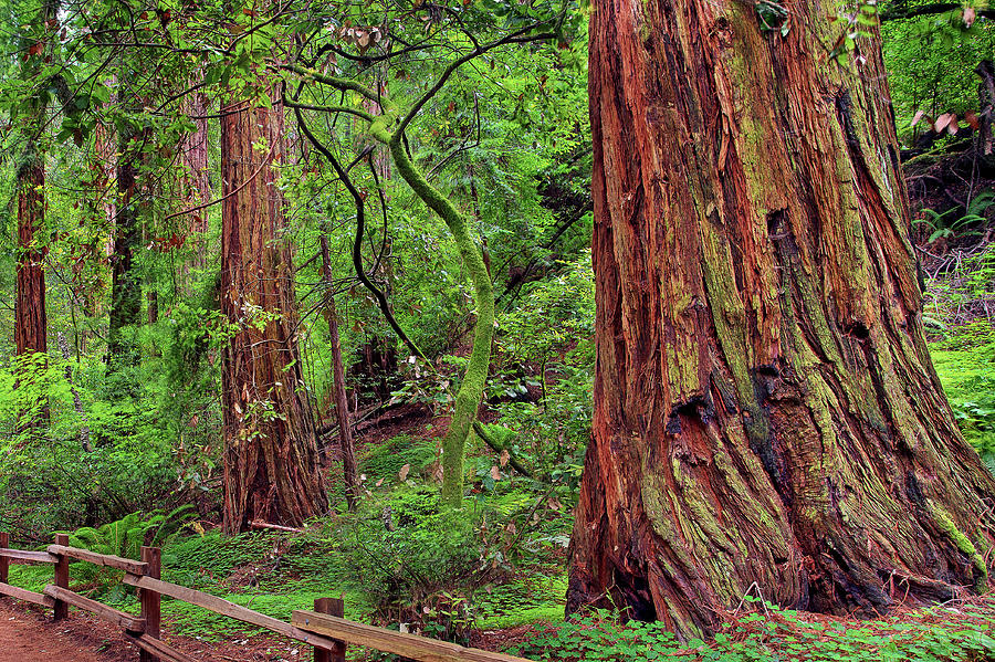 Redwood Trees - Muirwoods, San Francisco Photograph by Vns24@yahoo.com