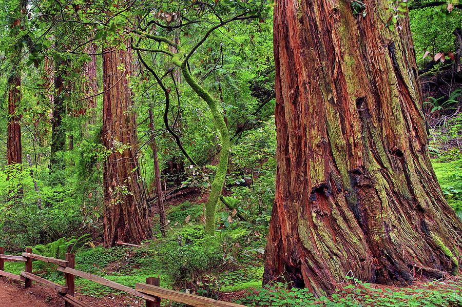 Redwood Trees Muirwoods San Francisco By Vns24 Yahoo Com