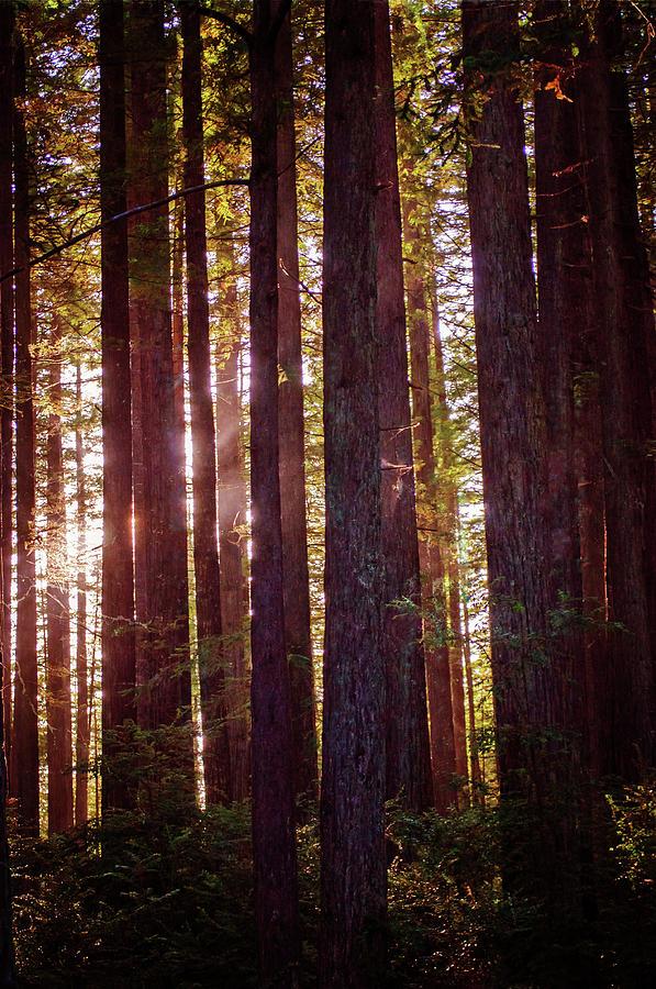 Redwood Twilight by Tikvah's Hope