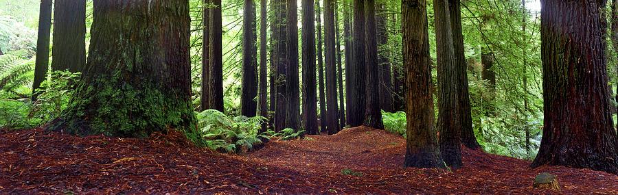 Redwood Trees Photograph - Redwoods 1 by Wayne Bradbury Photography