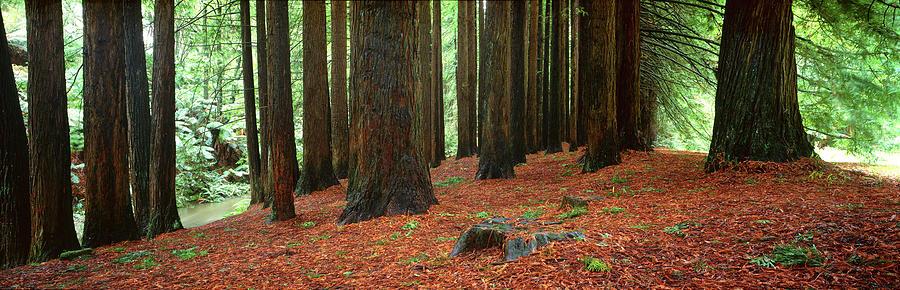 Redwood Trees Photograph - Redwoods 2 by Wayne Bradbury Photography