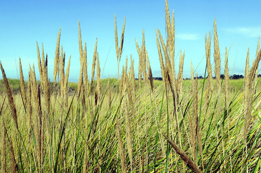 Reed Canary Grass by Tikvah's Hope