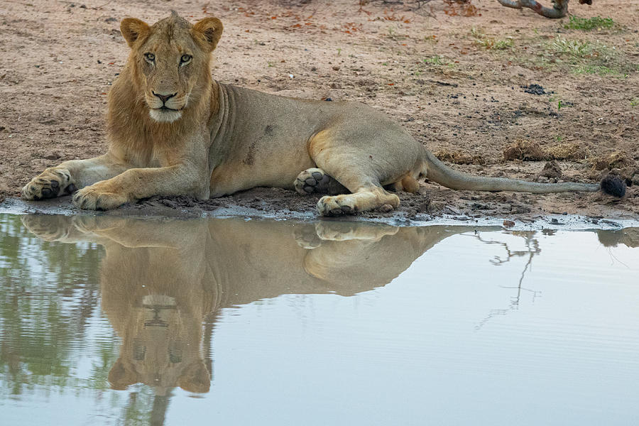 Reflecting Lioness by Mark Hunter