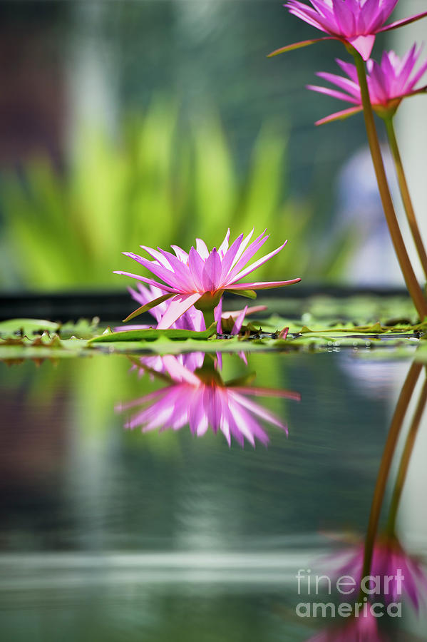 Nymphaea Pubescens Photograph - Reflecting Water Lily  by Tim Gainey