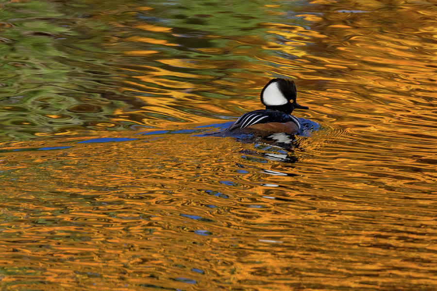 Reflecting with Hooded Merganser by Darryl Hendricks
