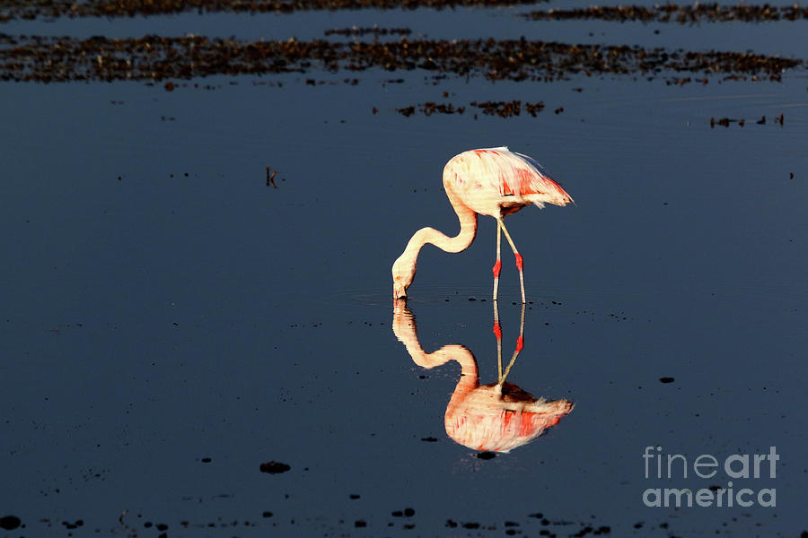 Reflections of a Chilean Flamingo by James Brunker