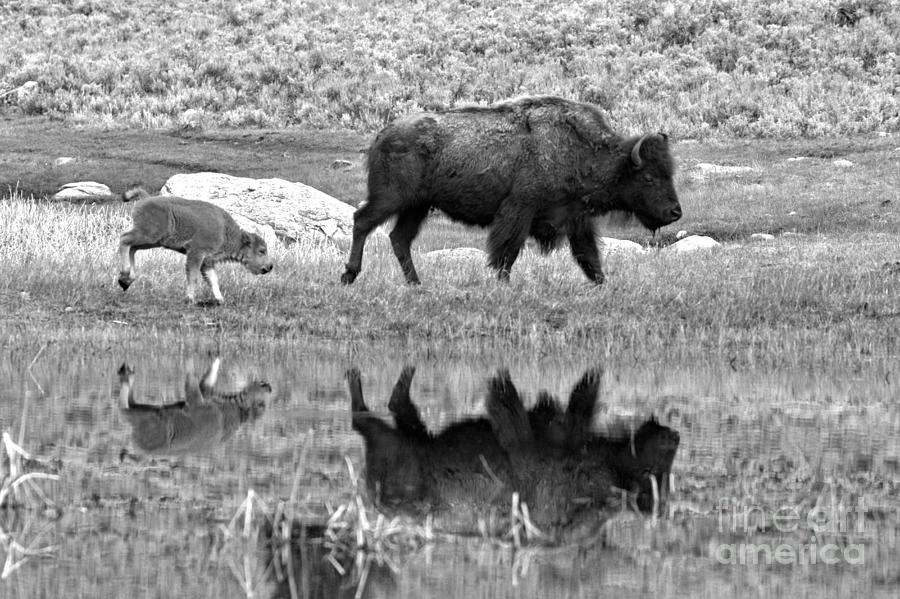 Reflections With The Yellowstone Red Dog Black And White by Adam Jewell
