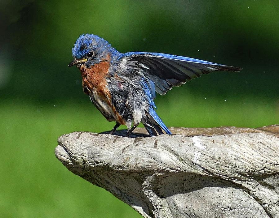 Refreshed Male Eastern Bluebird by Cindy Treger