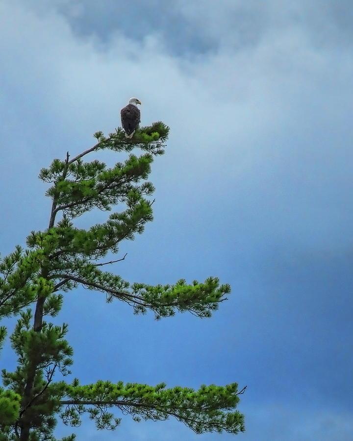 Regal Eagle by Dale Kauzlaric