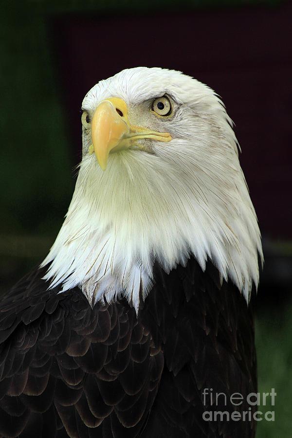 Regal Eagle by Paula Guttilla