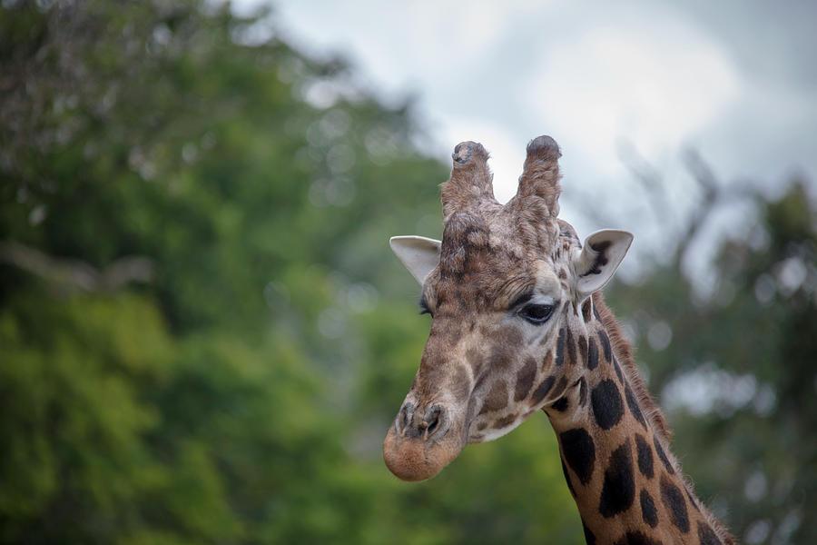Regal Giraffe by Cheltenham Media