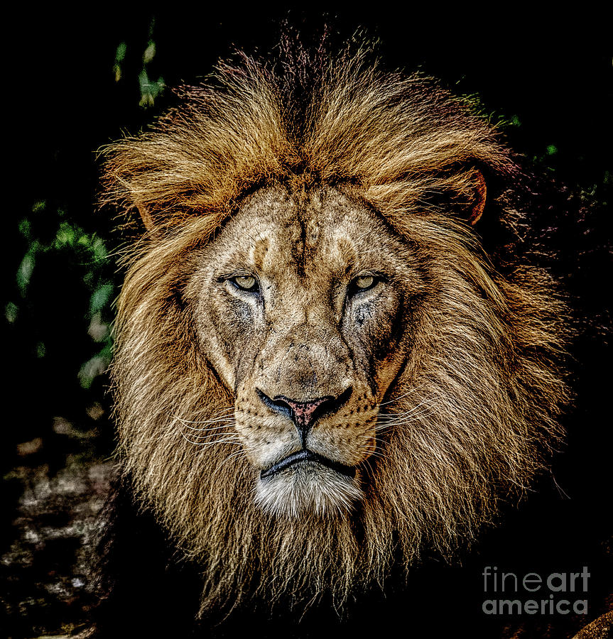 Regal Lion #1 by Julian Starks