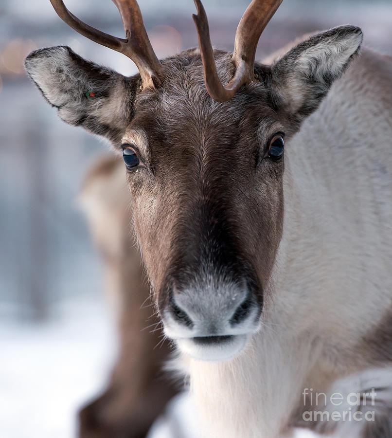 Deer Photograph - Reindeer In Its Natural Environment In by V. Belov