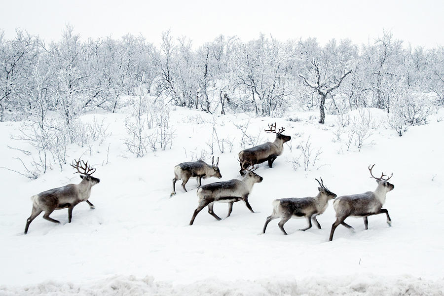 Reindeers In Snow Photograph by Wu Swee Ong
