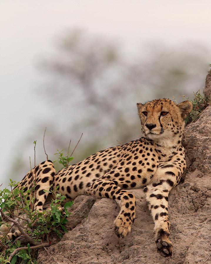 Relaxing Cheetah Photograph by Thomas Retterath