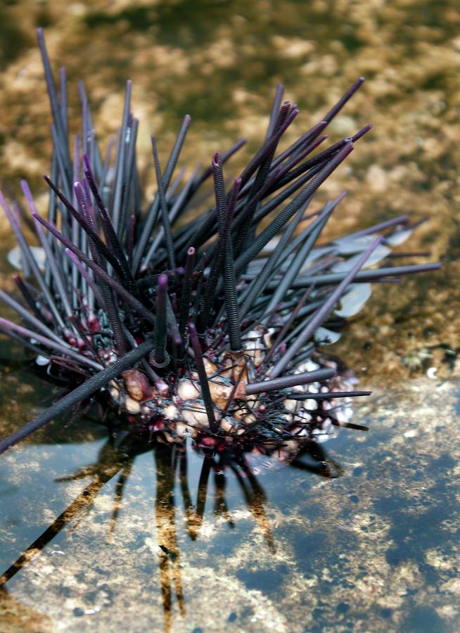 Remains Of Sea Urchin by Miroslava Jurcik