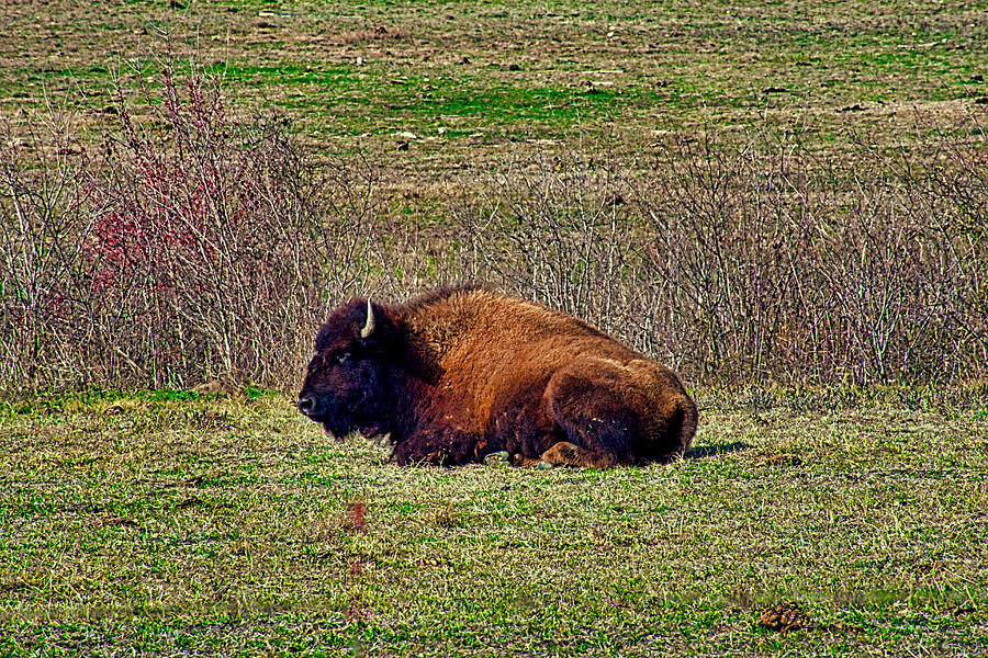 Resting Bison by Robert Brown