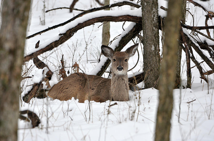 Deer Photograph - Resting Deer by Daniel  T DuLany