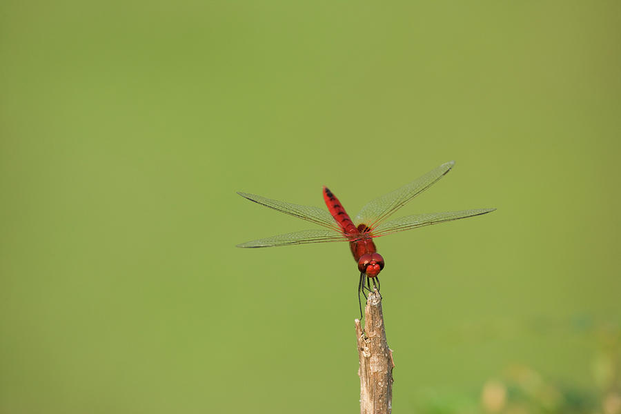 Resting Dragonfly Photograph by John Lund