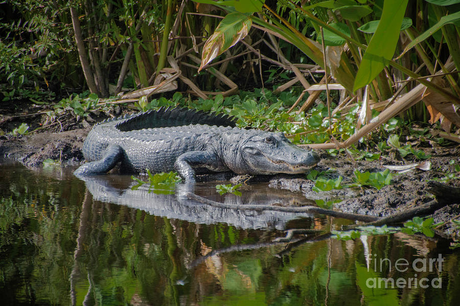 Resting Gator by Judy Hall-Folde