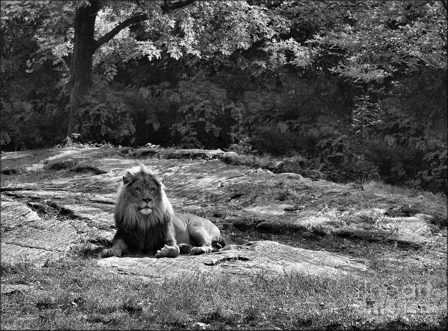 Resting Lion In Black and White by Sandra Huston